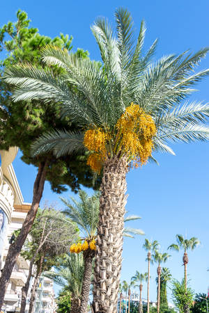 Large date palm in natural urban environments. Natural background
