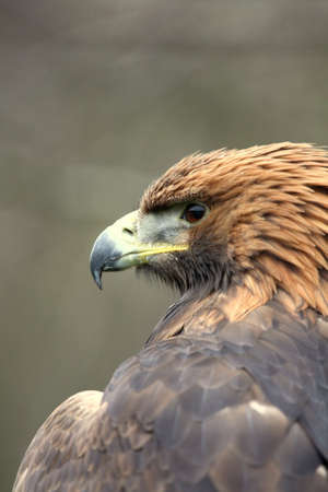 aguila dorada: Golden Eagle
