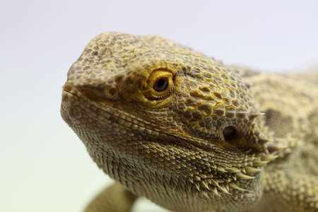 cold blooded: Bearded Dragon Lizard Stock Photo