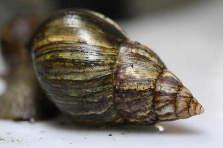 cone shell: land snail Stock Photo