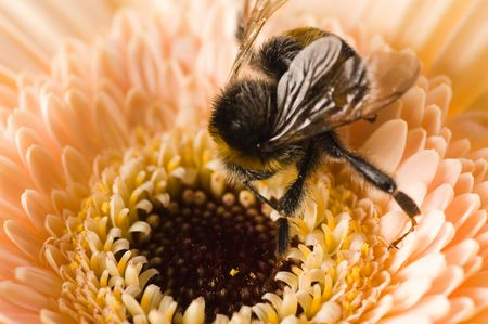 A bumble-bee collects pollen on (shallow dof) photo