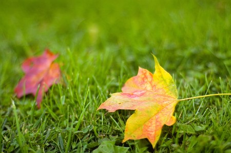 Maple leafs on the grass (shallow dof) photo