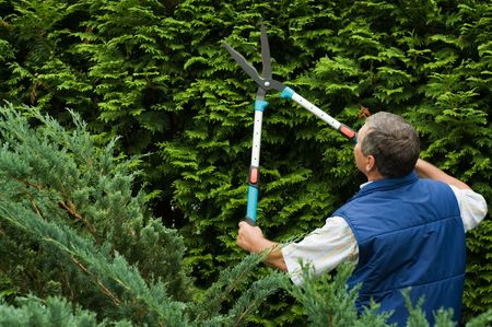 Senior man gardener cut a hedge photo