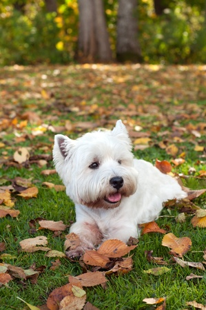 West highland white terrier on the green grass  photo
