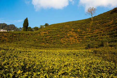 darjeeling: tea garden in the highlands in darjeeling india Stock Photo