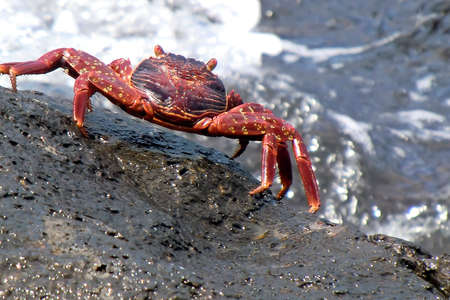 a red crab on the reef Stock Photo
