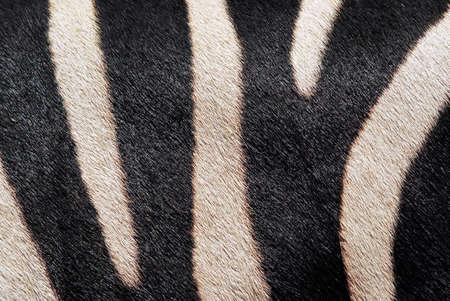 close-up of a nose of a zebra skin