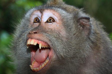 macaque: Angry singe sauvage (le macaque � queue) portrait