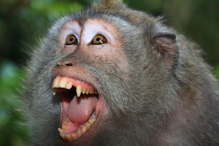 wild asia: Angry wild monkey (long-tailed macaque) portrait