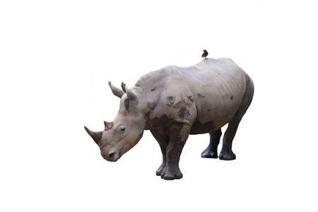 symbiosis: Two-horned white Rhinoceros with oxpecker (tick bird) isolated on white