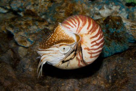chambered: Chambered Nautilus (Nautilus pompilius)  underwater shot