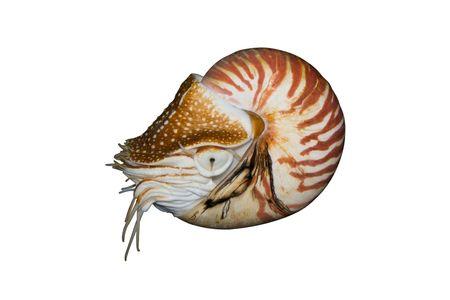 chambered: Chambered Nautilus (Nautilus pompilius)  isolated on white background