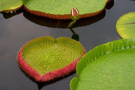 nenuphar: Amazon lily floating on river water