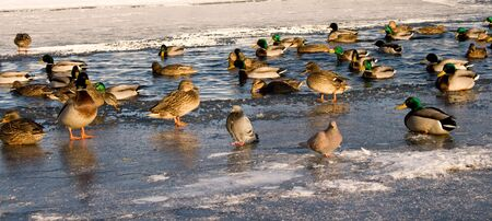 Ducks on ice and in water in winter photo