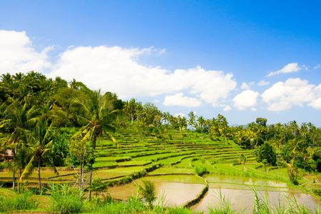 Green rice terraces on Bali island Stock Photo - 2982896