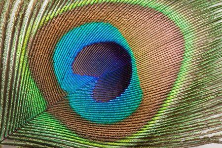 plumas de pavo real: Peacock penacho cerca