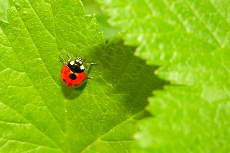 septempunctata: Red ladybug (Coccinella septempunctata) on green leaf