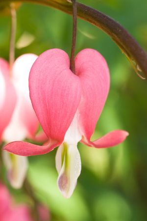 Bleeding heart flower (Dicentra spectabilis) close up photo