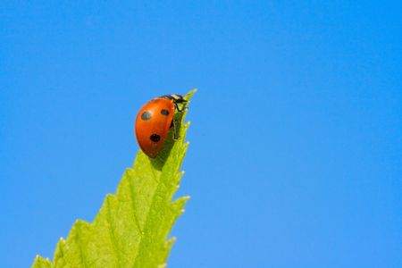 coccinella: Red ladybug (Coccinella septempunctata) ready to fly  on green leaf in blue sky Stock Photo