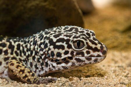 head close up: Lizard head close up