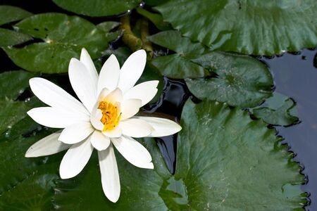 White water lily in pond Stock Photo - 3249436