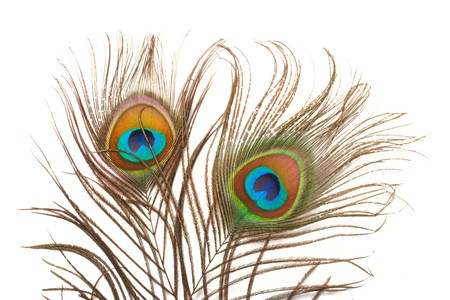Peacock plume close up