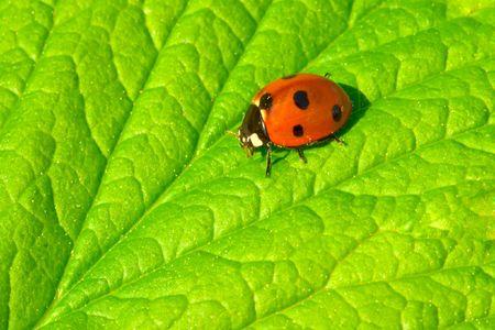 coccinella: Red ladybug (Coccinella septempunctata) on green leaf