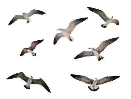 Flying seagulls isolated on white Фото со стока