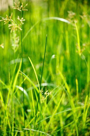 Green grass - very shallow depth of field photo