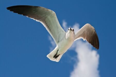Seagull flying in the air photo