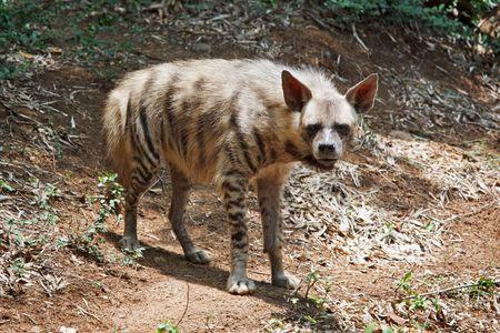 hyena: Striped hyaena in forest
