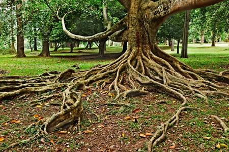 sri: Tropical tree roots. Sri Lanka