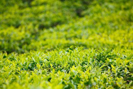 Yema de té y hojas. Enfoque selectivo. Plantaciones de té, Kerala, India