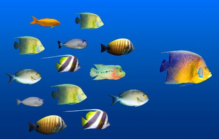 followers: Leadership concept - big fish leading school of tropical fishes isolated on white
