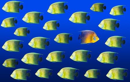 Going different way and standing out of crowd concept with angelfish Stock Photo - 7938215