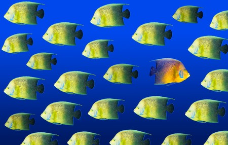 Going different way and standing out of crowd concept with angelfish photo