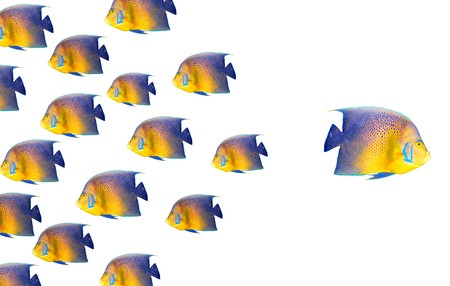 Going different way and standing out of crowd concept with angelfish Stock Photo - 7938022
