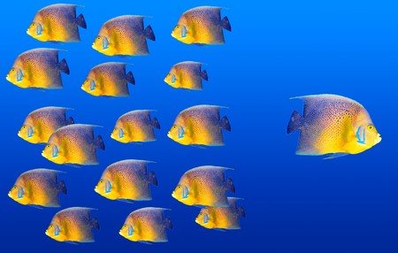 different way: Goind different way concept with angelfish