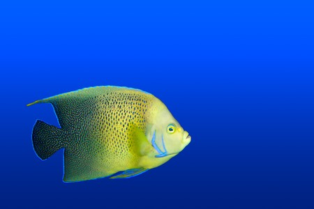 Angelfish (tropical fish)  in aquarium isolated Stock Photo - 7937784