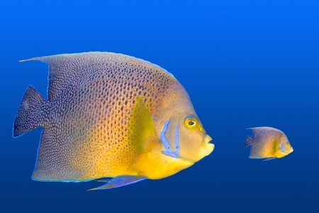 colorful fishes: Big fish chasing small fish Stock Photo