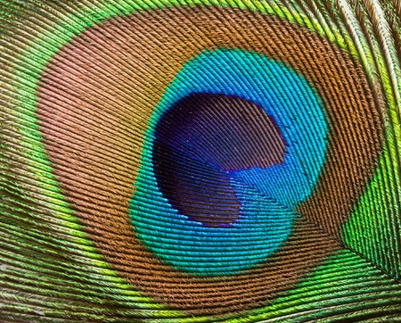 Peacock plume feather close up