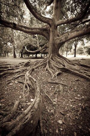 Tropical tree roots. Aged look. Sri Lanka Stock Photo - 8293050