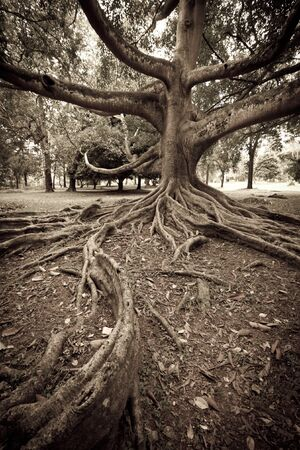 boom wortels: Tropische boom wortels. Leef tijd kijken. Sri Lanka Stockfoto