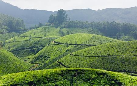 cropland: Tea plantations. Munnar, Kerala, India Stock Photo