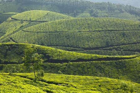 Tea plantations. Munnar, Kerala, India Stock Photo - 8293078