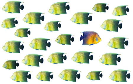 Going different way and standing out of crowd concept with angelfish Stock Photo - 8363881