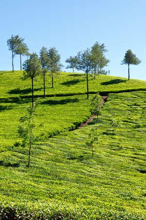 munnar: Tea plantations. Munnar, Kerala, India