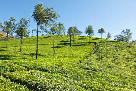 Tea plantations. Munnar, Kerala, India Stock Photo - 8971907