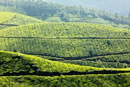 Tea plantations. Munnar, Kerala, India Stock Photo - 8971757