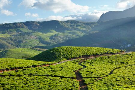 Tea plantations on surise. Munnar, Kerala, India Stock Photo - 8971750